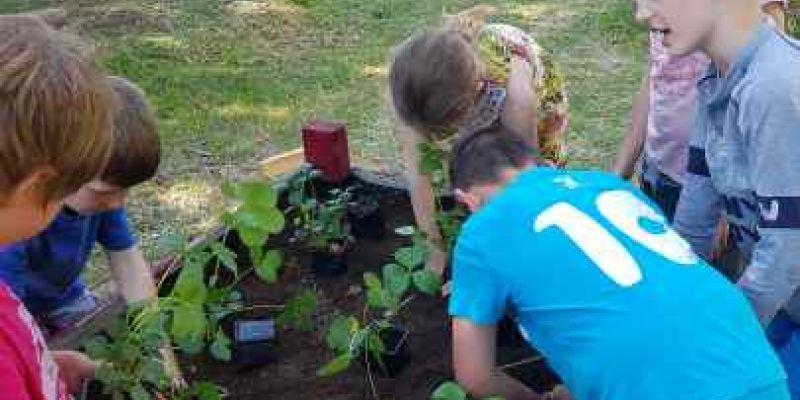plantation de fraisiers